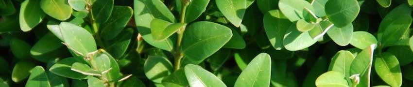 Wanneer plant ik een buxushaag?